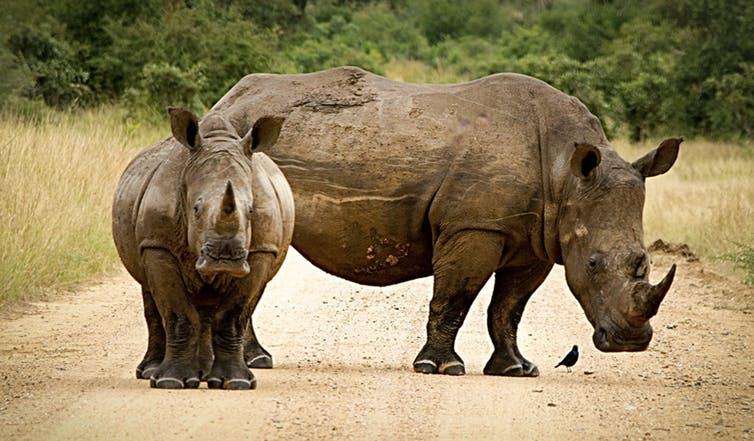 Proliferating roads are slicing into rhino habitats, increasing access for poachers. Photo Crediy: Via Pixabay