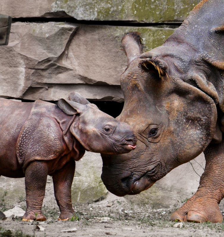 Captive breeding might be the last chance for some rhino species. Photo Credit: Via Pixabay