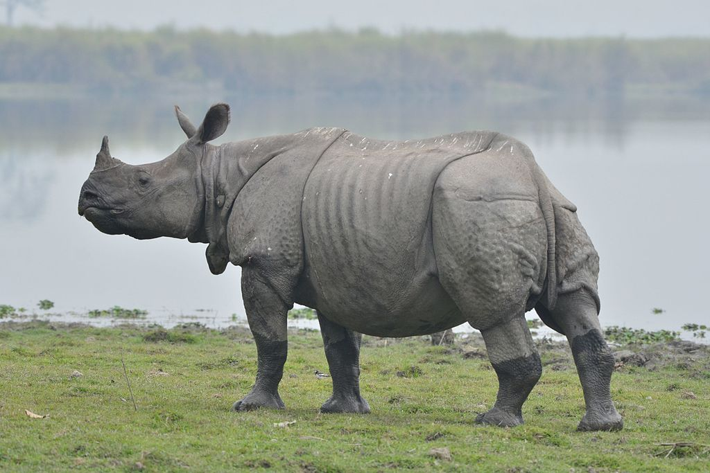 A greater one-horned rhinoceros in nearby Kaziranga National Park. Mulai Kathoni plays host to animals straying out of the park, but some question how vulnerable they are to poaching. Photo Credit: Anuwar Ali Hazarika via Wikimedia Commons (CC BY-SA 4.0)