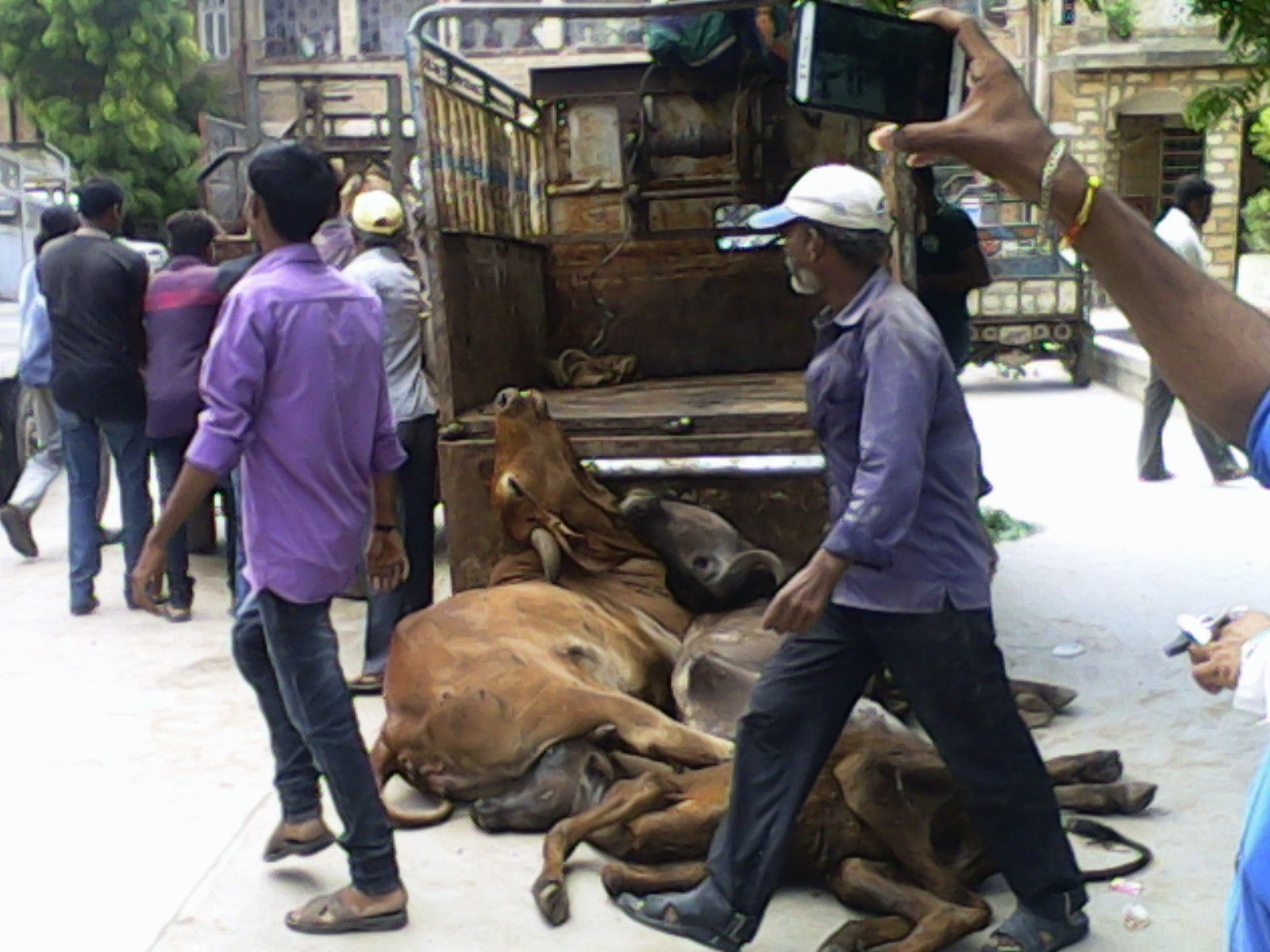 Dead cows being dumped in front of the Collectorate on July 18.