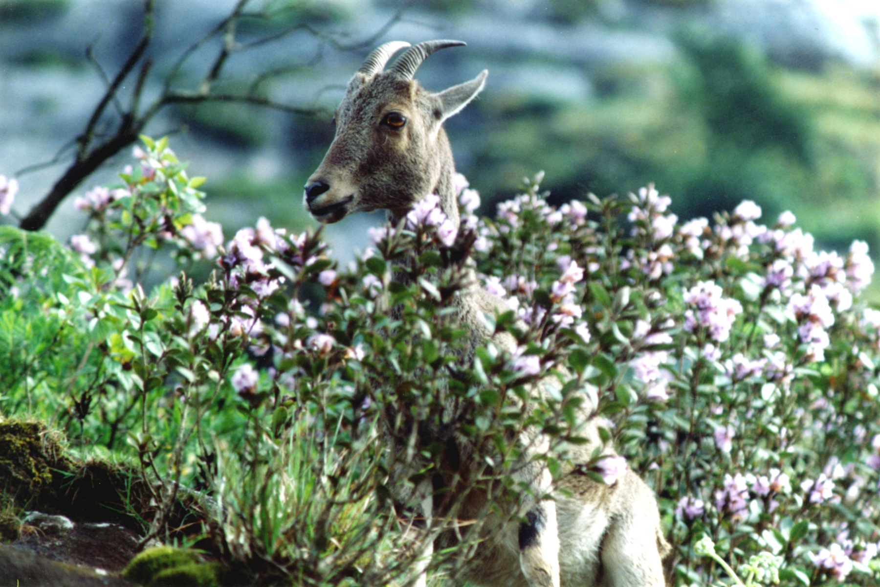 A Nilgiri tahr within the kurinji flowers in 2006. Photo Credit: Prasad Ambattu