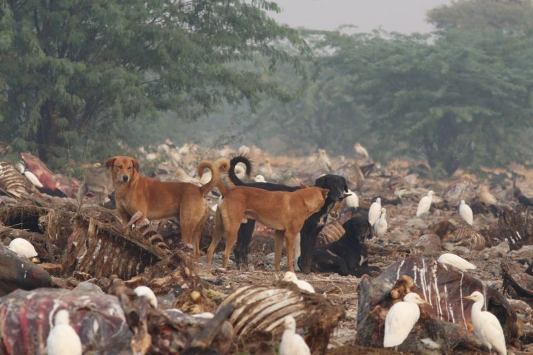 Dogs feasting on cattle carcass at Jorbeer dumpyard, Rajasthan. Photo by Anoop Kumar/Desert National Park, Rajasthan