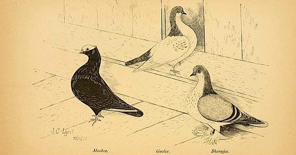 From somersaults to sending messages: the enduring Mughal fascination with pigeons