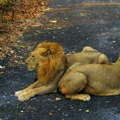 Experts should decide if all lions in Gir forest need vaccination, says Gujarat High Court