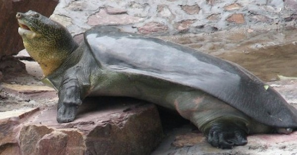 This incredibly rare, sacred turtle just died – leaving only three more on the planet