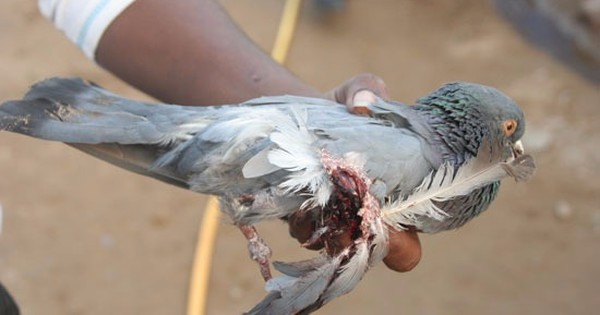 This camp in Surat heals birds injured by the kites that people fly for pleasure