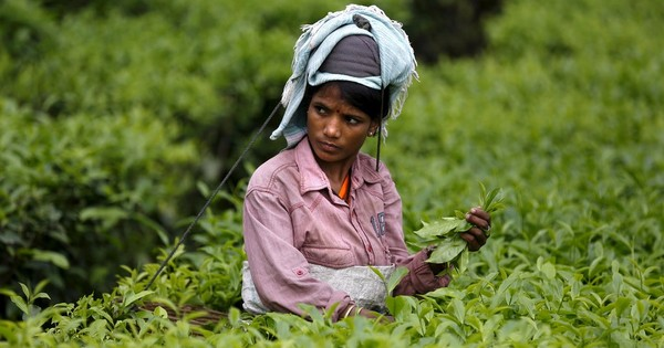 Assam's tea tribes: The group that could swing the election is too disaffected to care