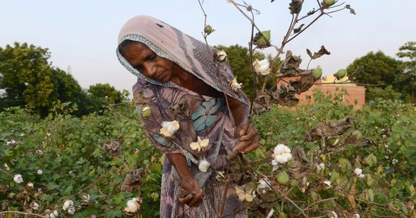 Supreme Court allows Monsanto to claim patent on genetically modified cotton seeds