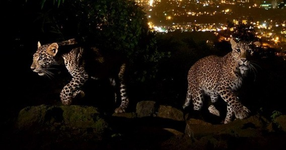 National Geographic has just published an incredible photo of Mumbai's leopards