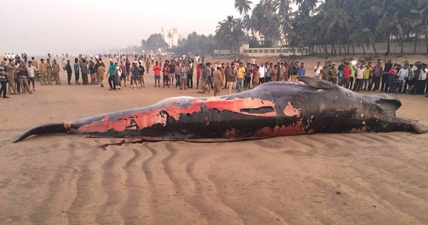 Massive Bryde's whale washes ashore on Mumbai's Juhu beach