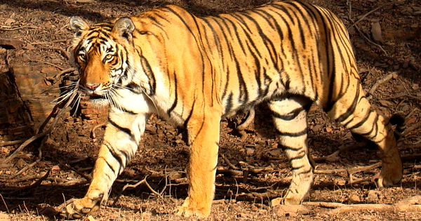 Uttarakhand: Man-eating tigress shot dead after 44-day search, villagers parade with corpse