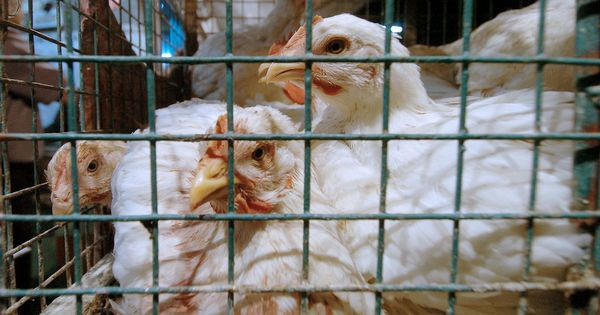 Bird flu outbreak: Don't panic, say experts – the virus does not spread to humans easily
