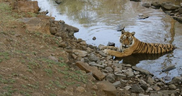 Machli, Ranthambore's most famous tigress, dies at the age of 20