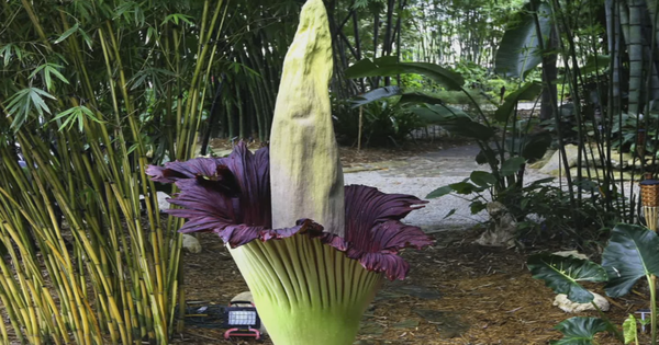 Watch: The giant corpse flower is blooming in Kerala after nine long years