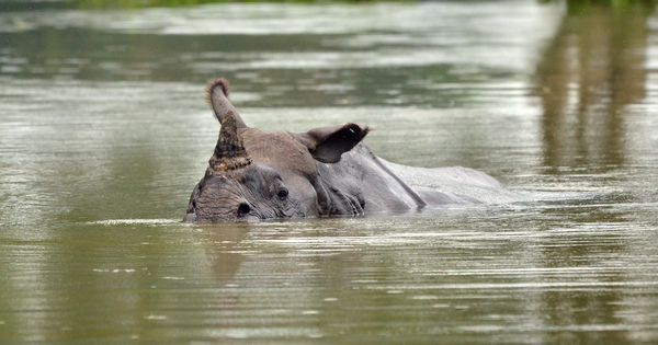 Assam: Poachers kill another rhino inside Kaziranga National Park, taking this year's toll to 18