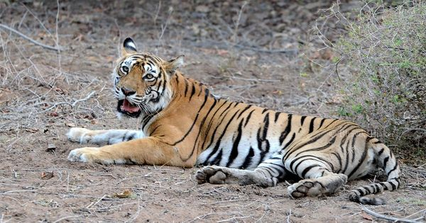 Uttarakhand's tiger count has gone from 163 to 242 in a year