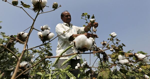 Hyderabad-based firm can continue to use Monsanto's Bt cotton technology, rules Delhi High Court