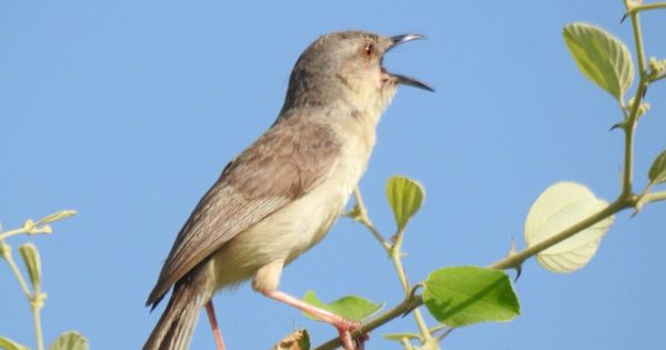 Jungle Prinia: An erratic winged guest appears to have become a frequent visitor to Delhi