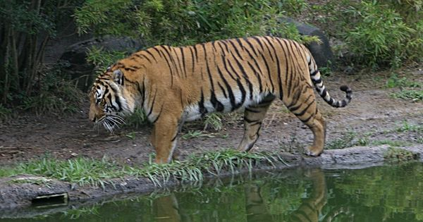 Tiger mortality rate highest since 2010 with 76 deaths reported this year