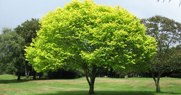 Can trees count? How do they know when to shed their leaves?