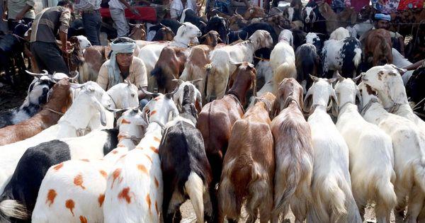 Uttarakhand: High Court bans animal slaughter in the open across the state on Bakrid