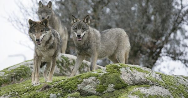 Norway to cull 47 of its remaining 68 wolves