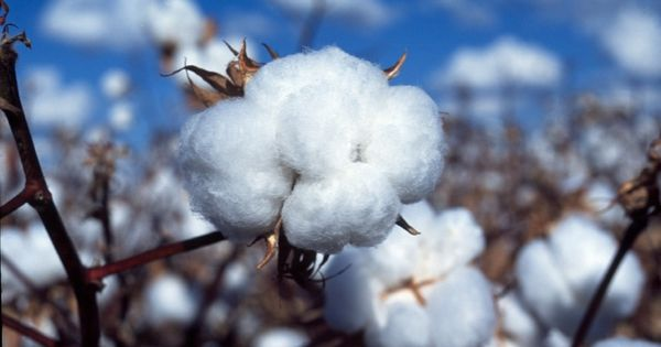 Food for thought: If Bt cotton technology is not working, why support its use by Indian companies?