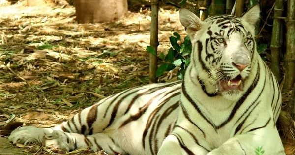 Bengaluru: Two white tigers maul caretaker to death at Bannerghatta National Park