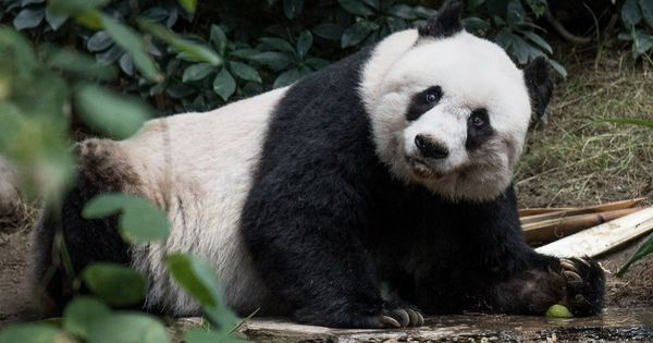 Jia Jia, the world's oldest panda in captivity, has died