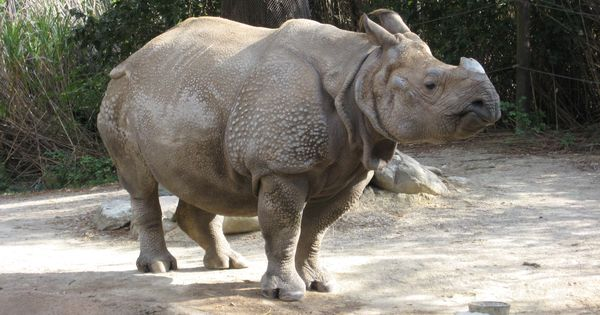 The killing of another rhino in Kaziranga shows that the threat of poachers is ever present