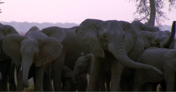 Video: Is poaching causing more elephants to be born without tusks?