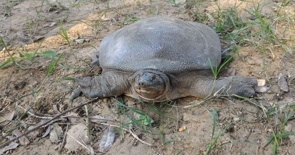 The rescue of 6,430 rare turtles in UP shows wildlife crime in India continues unchecked