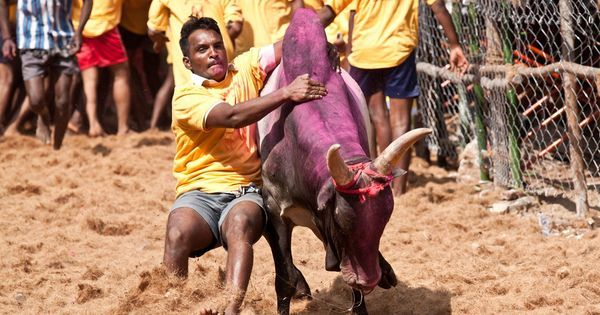 Readers' comments: Discard activities like jallikattu that hurt animals for the pleasure of humans