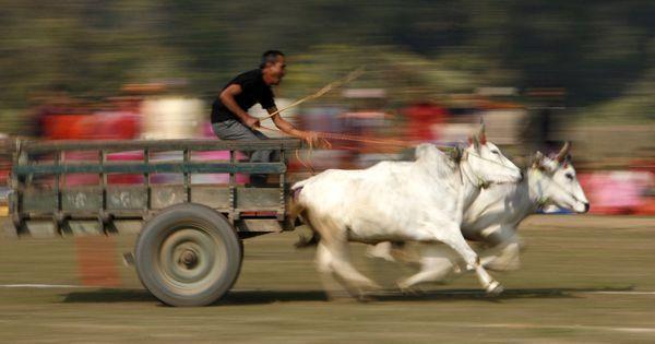 Bombay High Court refuses to lift ban on bullock cart races in Maharashtra