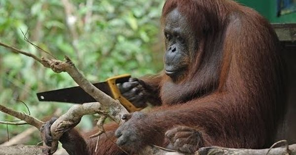 Watch: This wild orangutan worked out how to use a carpentry tool she had never even seen before