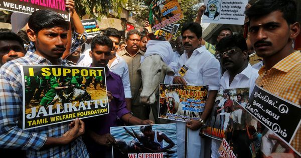 Supreme Court's Constitution bench to hear all matters related to Tamil Nadu's jallikattu law