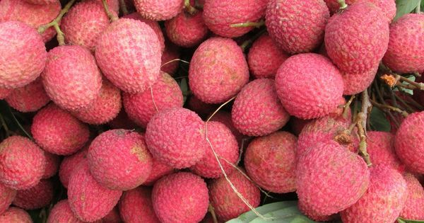 Shahi litchi from Bihar gets geographical indication tag