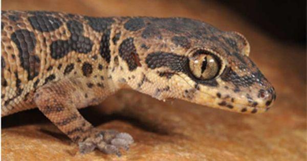 After brief resurrection, Jeypore ground gecko faces second death sentence