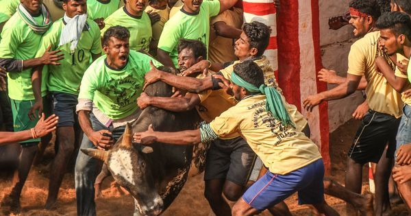 Photos: Why bull owners and tamers take part in jallikattu, despite the injuries and deaths