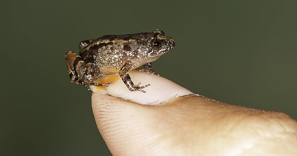 In pictures: Seven new species of night frogs discovered in the Western Ghats