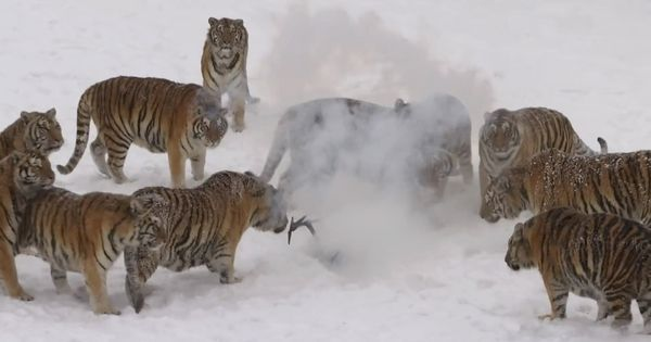 Video: Siberian tigers maul a drone filming them (but is that a tiger farm they're in?)