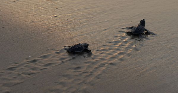 Watch the heartwarming sight of Olive Ridley turtles taking their first baby steps to the sea