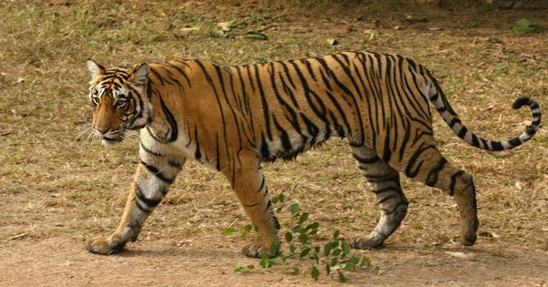 Corbett Tiger Reserve director sacked for issuing shoot-at-sight order