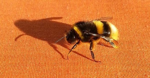 Watch: These bumblebees learnt to play football, using their own intelligence