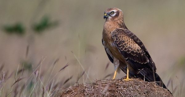 How the decline in India's harrier population hurts its farmers