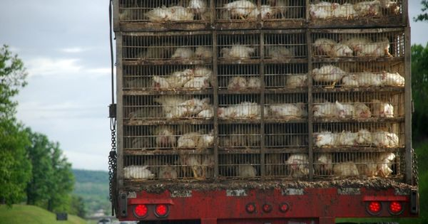 Cage-free poultry farming is gathering momentum in India. Will McDonald's crack?