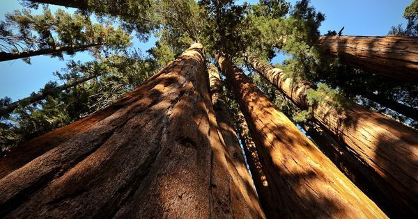 Watch: How giant sequoias, earth's largest and longest-living trees, need fire to survive