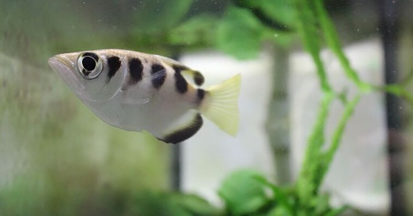 Archerfish can be taught to recognise human faces, reveals study