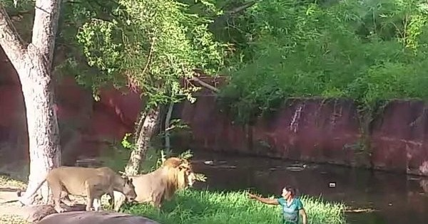 Watch: Drunken man leaps into lion enclosure in Hyderabad Zoo but escapes with his life