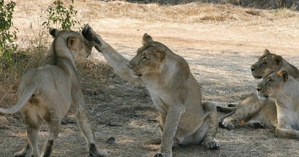 Gujarat: Supreme Court asks Centre to look into lion deaths in Gir